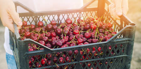 A farmer holds a box of freshly picked red cherries in the garden. Fresh organic fruits. Summer harvest. Selective focus. Stock Photo
