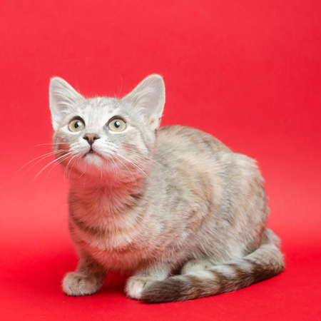 Gray tabby cat on a red background. Animal portrait. Pet. Place for text. Stock Photo