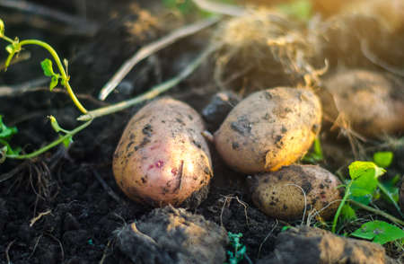 Freshly dug raw potatoes on the soil of a farm field. Harvesting, harvest. Harvesting potato. Fresh root organic vegetables, ecological agricultural food products. Gardening and farming.