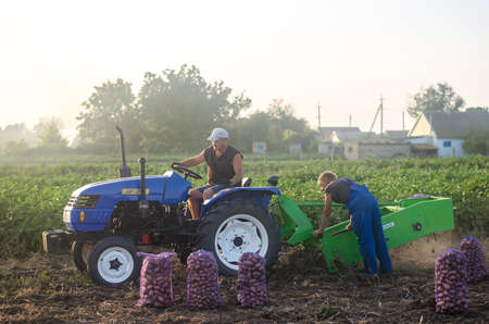 KHERSON OBLAST, UKRAINE - September 19, 2020: farm workers on a tractor dig out potatoes. Harvesting potatoes at the plantation, sorting and packing in mesh bags. Farming and agriculture