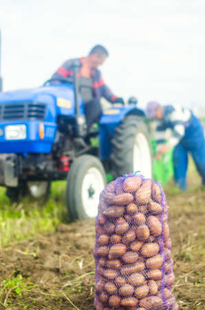 KHERSON OBLAST, UKRAINE - September 19, 2020: farm workers on a tractor dig out potatoes. Potato harvest campaign. Farming, agriculture. Harvesting potatoes in autumn.