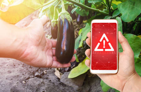 Phone in hand displaying a warning on background of a hand holds an unpicked eggplant. Use of dangerous chemicals for treatment of plants and crops. Potential health hazard. Growing organic vegetables