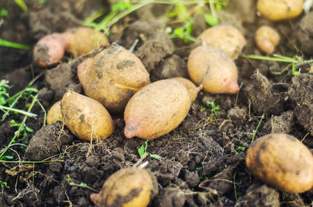 Potatoes are lying on the ground. Harvesting. Gardening and farming. Fresh organic vegetables, ecological agricultural food products. Harvest campaign. Agricultural production. Agribusiness Stock Photo