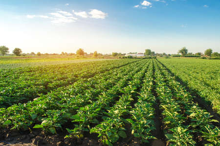 Eggplant plantations grow in the field on a sunny day. Organic vegetables. Agricultural crops. Landscape. Agroindustry and agribusiness. European farming. Agriculture. Aubergine. Selective focus