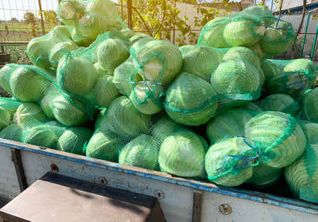 Trailer with freshly picked cabbage in bags. Agricultural products. Agriculture and farming. Harvest, harvesting. Growing Organic Vegetables. Countryside 免版税图像