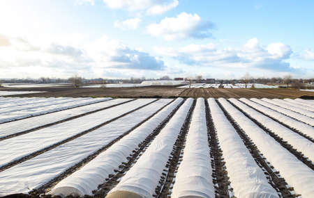 Arial top view of a potato plantation lined with white spunbond spunlaid nonwoven agricultural fabric. Planting potatoes under spunbond. Create a greenhouse effect for care and protection Archivio Fotografico