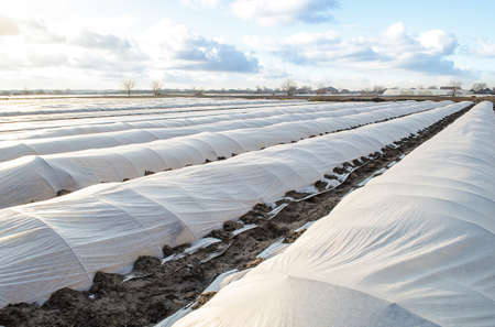Farm potato plantation field is covered with spunbond spunlaid nonwoven agricultural fabric. Earlier potatoes, care and protection of young plants from night frost. Modern technologies in farming