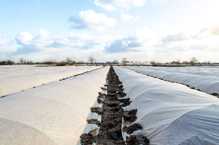 Farm potato plantation sheltered with spunbond spunlaid nonwoven agricultural fabric. Greenhouse effect. Early harvest, protection from frost and wind. Innovative technologies in agriculture Archivio Fotografico - 167172786