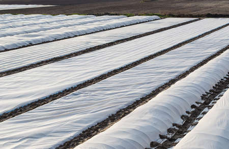A farm field covered with a white spunbond membrane to protect young potato bushes from low temperatures and unstable weather. Getting an early harvest of potatoes for sale and export at a high price. Archivio Fotografico - 167172797