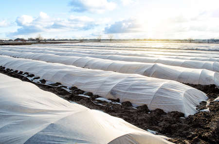 Farm potato plantation field is covered with spunbond spunlaid nonwoven agricultural fabric. Create a greenhouse effect. Earlier potatoes, care and protection of young plants from night frost