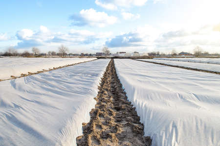 A farm field covered with a white spunbond spunlaid nonwoven fiber to protect young potato bushes from unstable weather. Getting an early harvest of potatoes for sale and export at a high price.