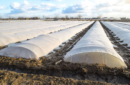 Farm potato plantation field covered with spunbond spunlaid nonwoven agricultural fabric. Create a greenhouse effect for care protection of young plants from frosts and winds. Technologies in farming