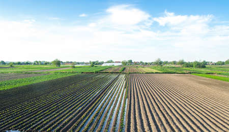 Countryside view of a field half-planted with eggplant. Well watering system. Growing food. Abundant water resources for agriculture. Traditional agro-industry. Agriculture land and farming Archivio Fotografico