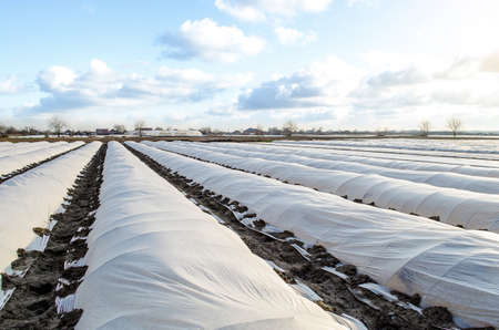Farm potato plantation field is covered with spunbond spunlaid nonwoven agricultural fabric. Earlier potatoes, care and protection of young plants from night frost. Create a greenhouse effect. Archivio Fotografico