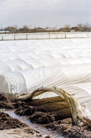 Irrigation rows under agrofibre in small greenhouses. Spunbond to protect against frost and keep humidity of vegetables. Farming and agriculture. Countryside. Growing potatoes. Selective focus Archivio Fotografico