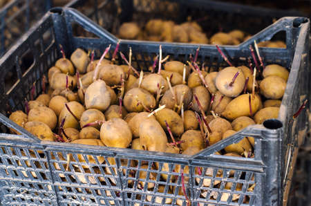 Germinating seed potatoes with roots in boxes. Traditional agriculture. Farming. Food stocks, harvest. Preparation of potatoes for sowing in the ground. Agro-industrial complex. Selective focus