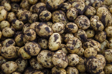 A pile of fresh young potatoes. Freshly dug potatoes with soil dirt. Harvesting, harvest. Agricultural food production and farming. Gardening. Growing organic potato vegetables on the farm.