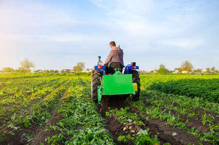 Farmer digs out a crop of potatoes. Harvest first potatoes in early spring. Farming and farmland. Agro industry and agribusiness. Support for farms. Harvesting mechanization in developing countries. Stock fotó