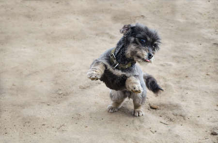 A playful black dog stands on its hind legs. Playing with pets. Care and education.