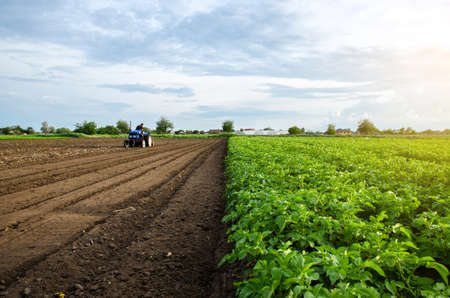 A farmer cultivates the soil on the site of an already harvested potato. Milling soil, crushing before cutting rows. Farming, agriculture. Plowing field. Loosening surface, land cultivation.
