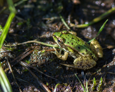 Green edible frog sits on a stone