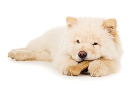 Beautiful little puppy chow chow gnaws bone photo