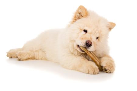 perky: Purebred, puppy chow chow eats bone
