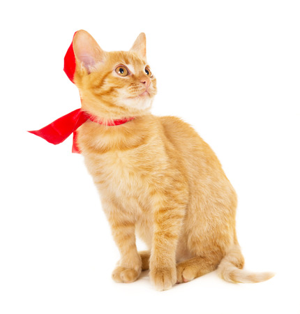 declare: red cat is sitting on the floor in the red ribbon isolated on white background Stock Photo