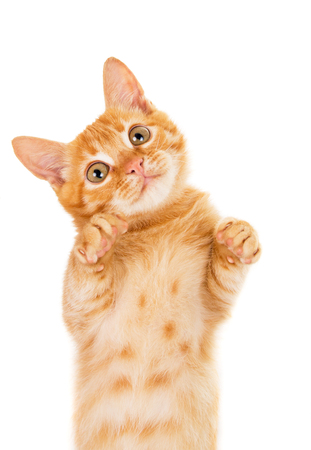 declare: cheerful redhead kitten isolated on white background