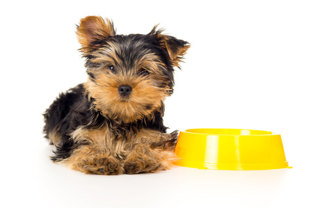 yorky: puppy lying near the bowls with food