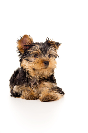 tilt views: beautiful Yorkshire Terrier isolated on a white floor