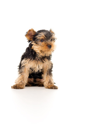 yorky: little Yorkshire Terrier puppy Stock Photo