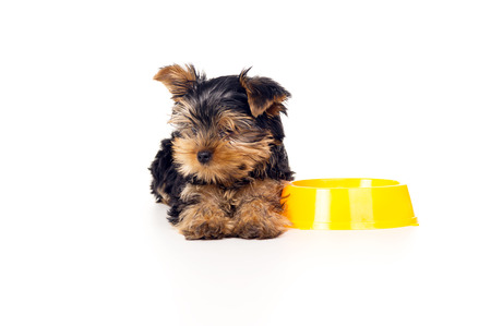yorky: Yorkshire terrier lying beside a bowl