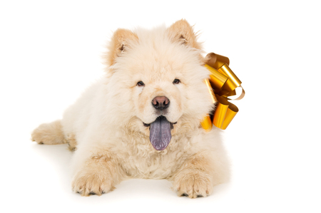 chow: Beautiful chow chow puppy with a bow