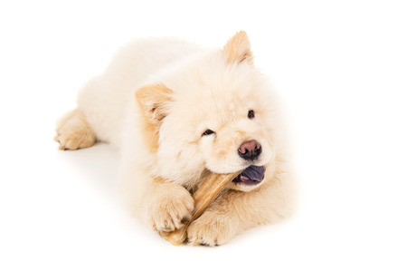 chow: Beautiful chow chow puppy with bone isolated