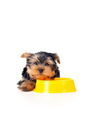 yorky: beautiful little Yorkshire terrier puppy with a bowl