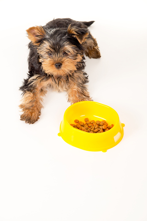 yorky: Yorkshire Terrier puppy sitting next to a bowl of feed Stock Photo