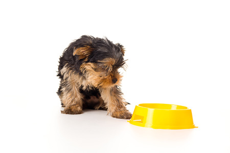 yorky: Yorkshire terrier looking down a bowl Stock Photo