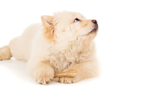 perky: Chow chow puppy with bone isolated Stock Photo