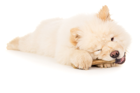 chow: Chow chow puppy chewing on a bone isolated Stock Photo
