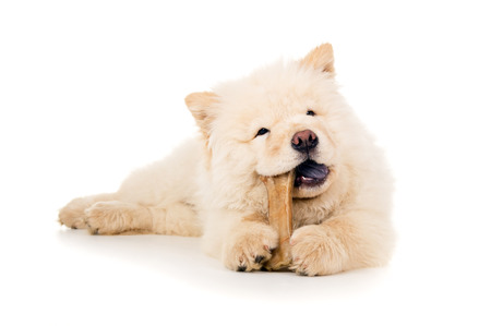 chow: Purebred chow chow eats bone Stock Photo