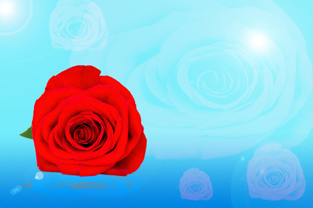 lying in: red rose lying in the dew on the blue background
