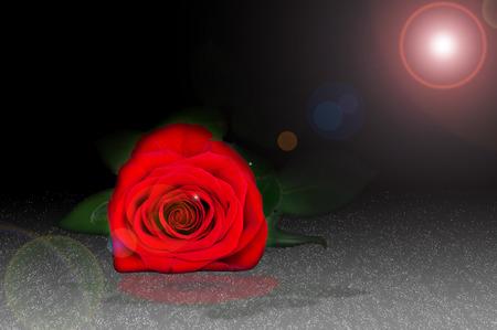 lying in: red rose lying in the dew in the dark