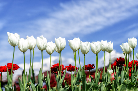 carnations: Tulips and carnations