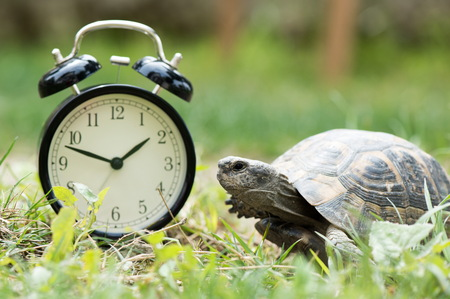 Time Management Concept With Alarm Clock And A Wild Turtle In Spring Time Stock Photo