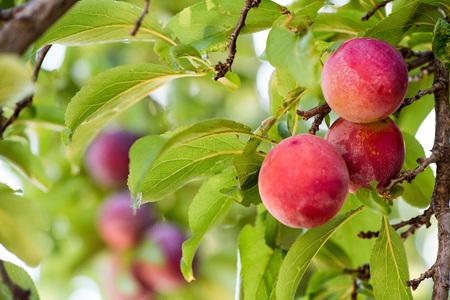 Ciruelas jugosas y carnosas que cuelgan en el árbol listo para la cosecha