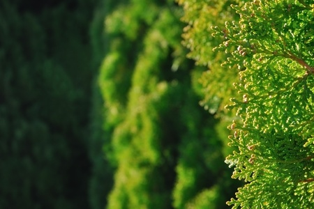thuja occidentalis: Close-up to thuja occidentalis branch, soft in background