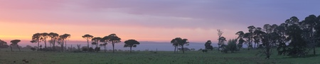 australian landscape: Panorama of sunrise in Western Port with Philip Island in background, cows and large eucalyptuses, Victoria, Australia