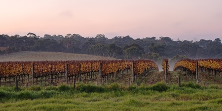 Cold sunrise at winery in Autumn, contrast yellow leaves, green grass, eucaliptuses in background and colourful sky in Victoria Australia photo