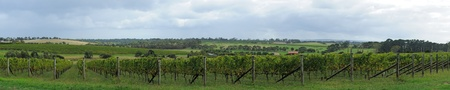 Panorama of rows of green grapes at winery, wineries on hills and clouds in background in Autumn in Mornignton Peninsula, Victoria, Australia photo